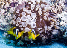 Clown Fish in anemone Stock Photos