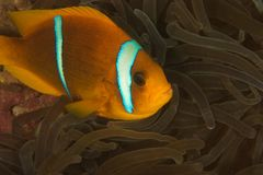 Clown fish (Amphiprion bicinctus) Royalty Free Stock Photos