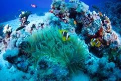 Clown fish. (Amphiprion bicinctus) and sea anemone (Actiniaria), Red Sea, Sudan stock photography