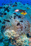 Clown fish. (Amphiprion bicinctus) and sea anemone (Actiniaria), Red Sea, Sudan royalty free stock image
