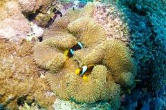 Clown fish. (Amphiprion bicinctus) and sea anemone (Actiniaria), Red Sea, Sudan stock photos