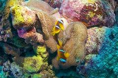 Clown fish. (Amphiprion bicinctus) and sea anemone (Actiniaria), Red Sea, Sudan royalty free stock photos