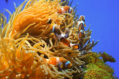 Clown fish - Amphiprion clarkii Royalty Free Stock Photography