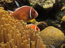 Clown Fish (Amphiprion ocellaris) on GB reef. Great Barrier Reef, Australia - Oct 28:  Scuba diving tourists watch red clown fish (Amphiprion ocellaris). October Royalty Free Stock Photography