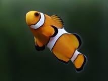 Clown fish amphiprion percula known as nemo. Macro of clown fish amphiprion percula known as nemo stock photos