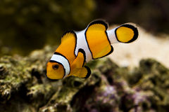 Clown fish amphiprion percula known as nemo stock photos