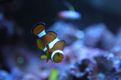 Clown fish (Amphiprion percula) Stock Photos