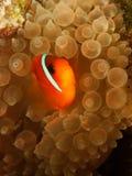 Clown fish - Andaman Sea Stock Image