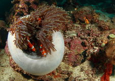 Clown fish in a anemon Royalty Free Stock Image