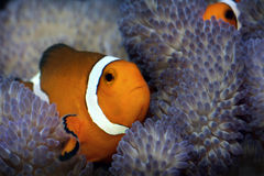 Clown fish in anemone Stock Photos