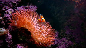 Clown Fish Anemone stock footage