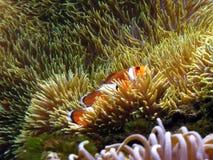 Clown Fish Anemone. A clown fish shot at the aquarium in Hawaii Royalty Free Stock Photography