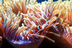 Clown fish and anemone Stock Photography