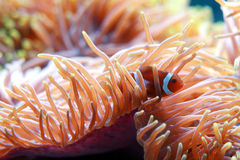 Clown fish and anemone Royalty Free Stock Photo