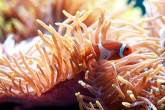 Clown fish and anemone Stock Photos