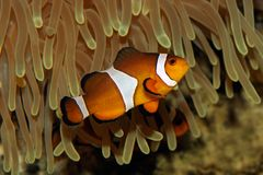 Clown fish and anemone. Underwater view of an Ocellaris clownfish (Amphiprion ocellaris) and sea anemone stock photo