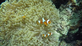 Clown fish in anemone, stock video footage