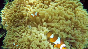 Clown fish in anemone, stock video