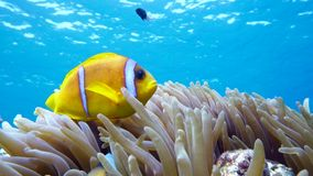 Clown fish in anemone close, Red sea. Egypt stock video footage
