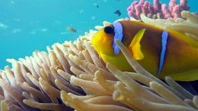 Clown fish in anemone close, Red sea. Egypt stock video