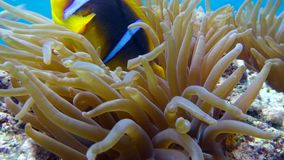Clown fish in anemone close, Red sea. Egypt. 4K stock footage