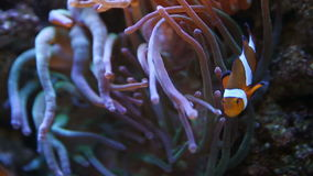 Clown Fish in anemone stock footage