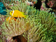 Clown Fish and anemone in coral reef. Anemone with a couple of orange clown fish in Indian Ocean (Maldives, Ari Nord atoll Stock Images