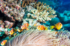 Clown fish in anemone Stock Images