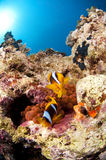 Clown fish and anemone, Red Sea, Egypt. Clown fish and red anemone, South Sinai, Red Sea, Egypt, Sinai Royalty Free Stock Photography