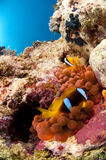 Clown fish and anemone, Red Sea, Egypt Stock Photography