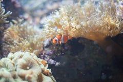 Clown fish. In anemone in sea stock photo