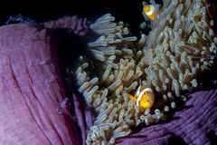 Clown fish in anemone with shrimps in Raja Ampat Papua, Indonesi Stock Photography