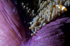 Clown fish in anemone with shrimps in Raja Ampat Papua, Indonesi Stock Image
