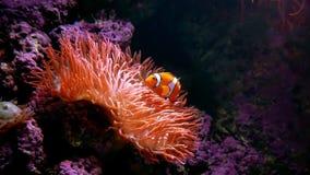 Clown Fish Anemone Stock Photography
