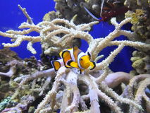 Clown fish Royalty Free Stock Image