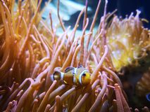 Clown fish anemones stock images