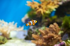 Clown fish in the aquarium Royalty Free Stock Photos