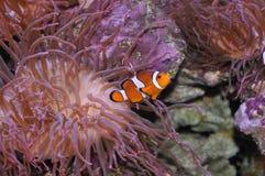 Clown Fish. In Aquarium at Mystic Stock Photos
