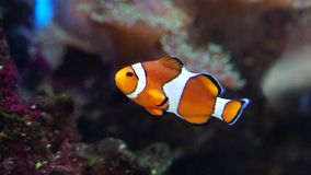 Clown fish in Aquarium stock video footage