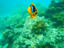 Clown Fish Attack Fiji Coral Reef royalty-vrije stock afbeelding