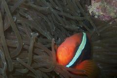 Clown Fish, Balicasag ö, Bohol, Filippinerna Royaltyfria Foton