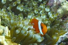 Clown Fish in Bellenzeeanemoon van Aalmoezenier Burgos, Leyte, Filippijnen stock foto's
