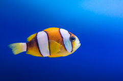 Clown fish on blue background Stock Photos