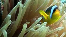Clown fish bright orange color in Bubble Anemone Actinidae underwater Red sea. Marine nature stock video