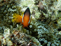 Clown Fish in bubble tip anemone Stock Image