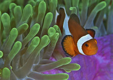 Clown Fish on Carpet Anemone Royalty Free Stock Image