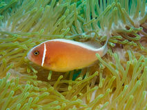 Clown Fish Close-Up in Anemone Stock Photography