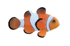 Clown Fish. A close up shot of a Clown Fish Royalty Free Stock Photo