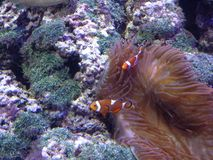 Clown fish stock images