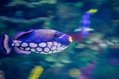 Clown Fish. A clown fish in the water Royalty Free Stock Photo